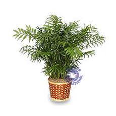 [미국/캐나다]화분-4 Palm Tree