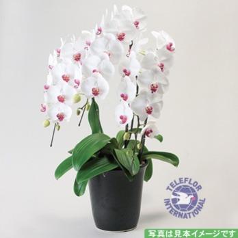 [일본]호접난-4