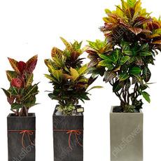 알록달록나뭇잎[크로톤]