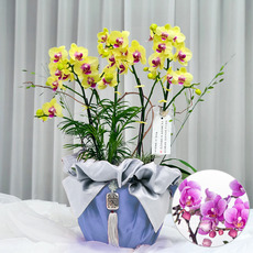 호접란(꽃색상변경가능)_고급포장