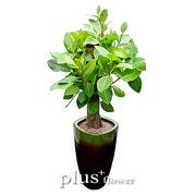 뱅갈고무나무A