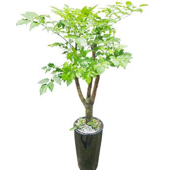 행복나무B(해피트리)